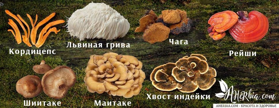 целебные грибы рейши чага польза грибов