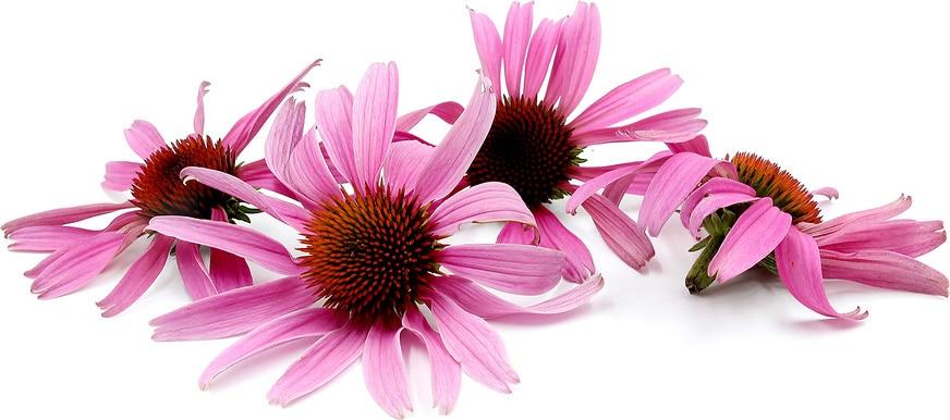 Echinacea эхинацея сироп экстракт капли эхинацея для детей